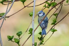 Лазоревка (Yuriy Kuzmenok) Tags: птицы птица природа синица лазоревка