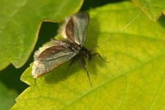 Longhorn moth (possibly Cauchus Rufimitrella) at Selborne Hanger, Hampshire (Art-G) Tags: longhorn moth cauchusrufimitrella macro canon eos7dmkii selborne hampshire uk tamron90mmucvsd