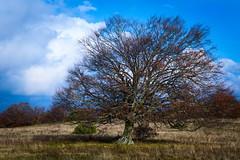 Faggio (Strocchi) Tags: faggio beech tree marche appennino autunno canon eos6d 24105mm elcito macerata