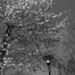 Lamppost / Blossom