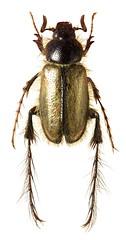 Melolonthinae sp. (dries.marais) Tags: coleoptera scarabaeidae melolonthinae