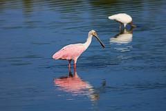 Taking Things in Stride (Michiale Schneider) Tags: roseatespoonbill pink bird nature water dingdarlingwildliferefuge sanibelisland florida michialeschneiderphotography