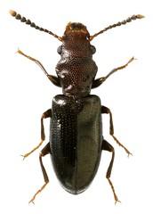 Salpingidae sp. (dries.marais) Tags: coleoptera salpingidae beetle insect africa southafrica