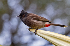 Point Man (RicoLeffanta) Tags: bird bulbul red vent vented redvented claw talon patch black grey gray feather point sharp