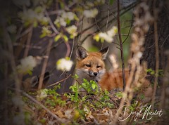 Foxy (daryl nicolet) Tags: fox animal wild wildlife orange redfox red daryl nicolet canon 5dm3 sigma coth5 nature outside