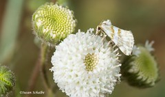 White on white (Photosuze) Tags: insects moths lepidoptera animals nature wildlife flowers wildflowers flora native pollination spring