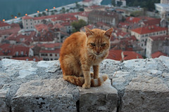 King of the Cats - Kotor, Montenegro (russ david) Tags: kotor montenegro king cats котор cattaro gulf adriatic sea balkans travel november 2018 црна гора crna gora fortress fort