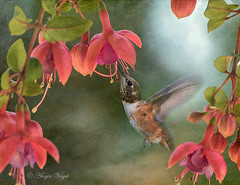 Rufous and Fuchsia (Angie Vogel Nature Photography) Tags: fuchsia blossoms hummingbird rufoushummingbird spring flowers