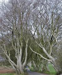 hedgestart (Shannon O'Haire) Tags: got gameofthrones ireland northofireland northernireland kingslanding kingsroad bregaghroad trees darkhedges nature tvshows gothsintrees