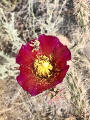 A bee covered in pollen inside a Cholla Flower. (Jeremy-R-Michael) Tags: bees nature flowers pimacounty beeoncactusflower beecoveredinpollen beedrinking pollen beeinflower chollaflower cactusflower flower cactus cholla wasson arizona insect honeybee bee