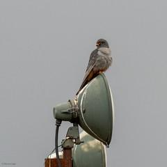 Red-footed Falcon (kc02photos) Tags: redfootedfalcon falcovespertinus woodbridge suffolk england birdphotography