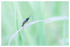 L'élégante (Hexilene) Tags: nikon nature nikonpassion nikond750 macro macrophotographie proxi sigma105mm sigma