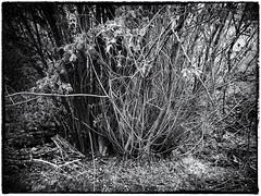 Geäst (shortscale) Tags: geäst busch holz baum haselnuss weide monochrome schwarzweiss blackandwhite noiretblanc