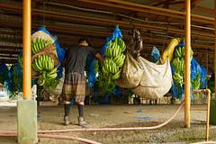 Banane industrielle (patoche21) Tags: ameriquelatine costarica dxo photographie banane chaîne gens homme industrie industriel métier ouvrier reportage scène usine patrickbouchenard latinamerica centralamerica plant factory work banana people industrial industry