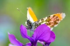 Antocharis cardamines - Orange tip butterfly (de_frakke) Tags: anthochariscardamines oranjetipje tuin garden vlinder butterfly insect mariposa papillon borboleta glöynbyw farfalla macro natuur nature schmetterling