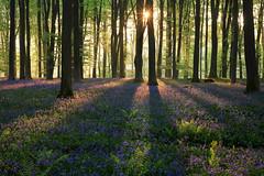 Micheldever Bluebells at Dawn (Alan MacKenzie) Tags: bluebells woodland micheldever hampshire dawn shadows spring beech morning