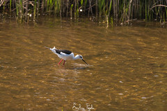 Échasse blanche (Emeline P) Tags: sony alpha wildlife animal nature bird wild naturelovers landscape sea water mer oiseau france foulque échasse aigrette grenouille tortue mésange nidification reproduction wildanimal wildlovers