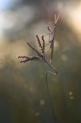 Perché (donlope1) Tags: macro nature light mantis empuse diablotin insect proxy wild wildlife bokeh