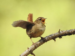 Wren (Troglodytes troglodytes) (eerokiuru) Tags: wren troglodytestroglodytes zaunkönig käblik strzyżyk nikoncoolpixp900 p900 bird wildlife nature birding vogel