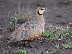 Yellow-throated Sandgrouse Pterocles gutturalis saturatior (nik.borrow) Tags: bird sandgrouse ndutu