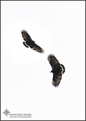 _45A7121 Black Hawk ©Dancing Snake Nature Photography (Dancing Snake Nature Photography) Tags: arizona nature photography dancingsnakenaturephotographybirds raptors blackhawk tubacaz