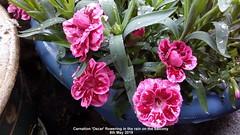 Carnation 'Oscar' flowering in the rain on the balcony 8th May 2019 (D@viD_2.011) Tags: carnation oscar flowering rain balcony 8th may 2019