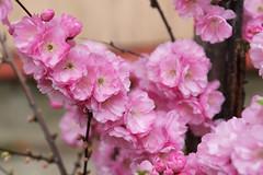 4H5A5391 (Yumi♡) Tags: bjd doll garden yumistudio flowers spring glacedolls 2019 yellowdress