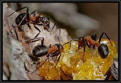 Waldameisen (robert.pechmann) Tags: waldameisen macro makro wald robert pechmann insekt rote waldameise formicarufa