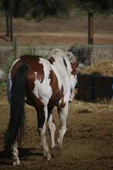 Shasta (Brynn Fram) Tags: walking americanpainthorse painthorse equinephotography ranch dusty desert horse skewbald gelding bayframeovero frameovero frame bay overo paint