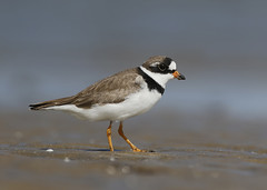 Semipalmated Plover (Birding the day Away !!) Tags: semipalmatedplover charadriussemipalmatus bolivarflats bolivarpeninsula wader texas unitedstates michaelsouthcott