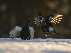 A9_05810 (msmedsru) Tags: black grouse lek finland kuusamo spring snow sunrise golden hour