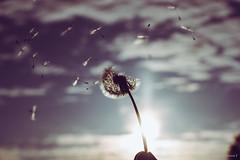 Summerbreeze (spastman1) Tags: dandelion löwenzahn nx nx1 samsung blume florals flower flowers silhouette spastman1