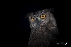 Grand-duc d'Amérique - Bubo virginianus - Great Horned Owl (denisfaure973) Tags: guyane nocturne rapace hibou owl spectacled perspicillata pulsatrix lunettes chouette grandduc amérique bubo virginianus great horned
