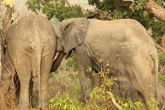 Savanna elephants, Mole Motel, Mole National Park, Ghana (inyathi) Tags: africa westafrica ghana africananimals africanwildlife africanelephants elephants savannaelephants loxodontaafricana molemotel molenationalpark
