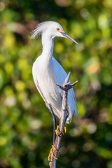 Snowy Egret (dbadair) Tags: outdoor seaside sky nature wildlife 7dm2 7d ii ef100400mm canon florida bird