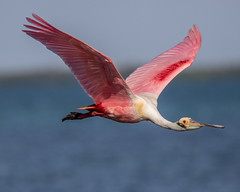 Roseate Spoonbill Inflight (dbadair) Tags: outdoor seaside sky nature wildlife 7dm2 7d ii ef100400mm canon florida bird