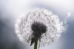 Faerie Kingdom - Break Out (Hugobian) Tags: little faerie fairy kingdom macro dandelion seed heads sun droplets fantasy pentax k1