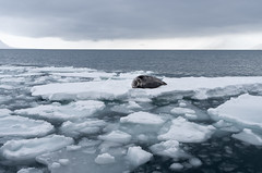 On the Float (MrBlackSun) Tags: float sweetheart beardedseal bearded seal arctic polar northpole svalbard spitsbergen winter landscape nature nikond850 naturephotography landscapephotography