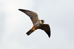 hobby (DODO 1959) Tags: wildlife eurasianhobby birds fauna animal avian birdofprey raptor nature outdoor flight migrant 100400mmmk2 canon 1dmk4 x14 england somerset rspbhamwall avalonhide