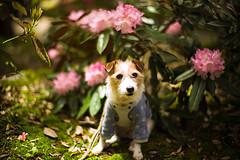 Blessed by Flowers (moaan) Tags: tanba hyogo japan dog jackrussellterrier kinoko portrait dogportrait dogphotography flower flowering flora peony light sunlight bokeh bokehphotography dof leica leicamp type240 noctiliux 50mm f10 noctilux50mmf10 leicanoctilux50mmf10 utata 2019