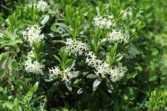Daphne glomerata Lago-Naki July 2018 (Aidehua2013) Tags: daphne thymelaeaceae malvales plant flower lagonaki adygea maikopdistrict russia caucasus