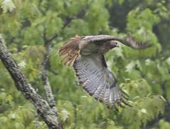 Red-tailed Hawk - Buteo jamaicensis (Dave Boltz) Tags: canon7dmarkii birds outdoors nature wildlife lakefrederick frederickcounty virginia redtailedhawk buteojamaicensis