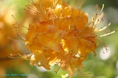 Orange Dreamscapes No 1 (Walt Snyder) Tags: canoneos5dmkiii canonef100400mmf4556lisiiusm orangerhododendron rhododendron orange springblooms blossom dreamy bokeh azelea
