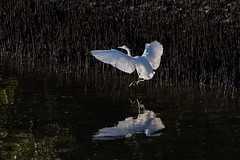 Egret Translucence (armct) Tags: egrettagarzetta egret little small white flight wingspan sunlight glare airborne mangrove currumbin creek wetland intertidal wader waterbird