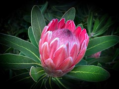 Protea. Victoria - Australia (rosgloryfire) Tags: autumn protea macrodreams australia blooming bright season vibrant plants nature flora leaf floral garden petals beautiful pinkflower macro botanical flowers