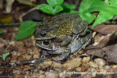 Asian Common Toad (Duttaphrynus melanostictus), male and female DSC_2523 (fotosynthesys) Tags: asiancommontoad duttaphrynusmelanostictus truetoad bufonidae toad amphibian srilanka mating