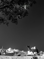 India series (Nick Kenrick.) Tags: camel rajasthan moon