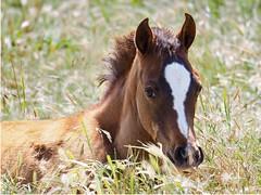 Foal in the grass (avilacats) Tags: closeup blaze arroyograndeca varianarabians grass sleeping foal arabian