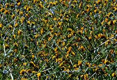 Fiddle Necks - Homage to Jackson Pollock (EmperorNorton47) Tags: whitingranchwildernesspark portolahills california photo digital spring wilderflowers flowers texture meadow fiddleneck amsinckiasp