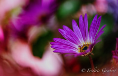 Real Spring (frederic.gombert) Tags: flower flowers spring pink red color sun sunlight macro nikon bloom blossom plant daisy summer